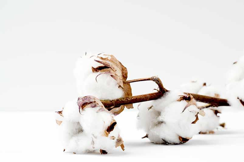 algodón orgánico blanco